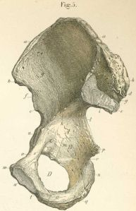The pelvis is made up of 2 of these Innominates and a Sacrum that sits between them