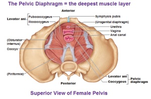 Pelvic Floor Superior View